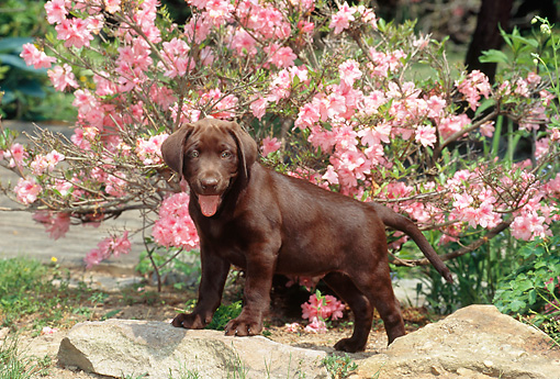 PUP 05 CE0072 01 © Kimball Stock Chocolate Labrador Retriever Puppy Standing On Rock By Pink Blossoms