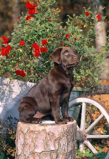 PUP 05 CE0076 01 © Kimball Stock Chocolate Labrador Retriever Puppy Sitting On Stump By Red Flowers In Wheelbarrow
