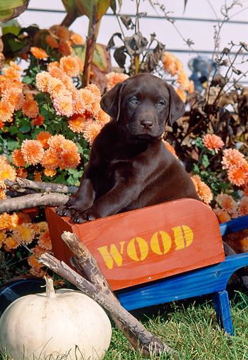 PUP 05 CE0077 01 © Kimball Stock Chocolate Labrador Retriever Puppy Sitting In Toy Wheelbarrow By Flowers And Pumpkin