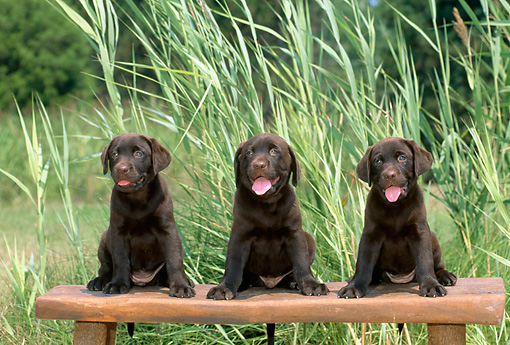 PUP 05 CE0081 01 © Kimball Stock Three Chocolate Labrador Retriever Puppies Sitting On Bench In Meadow