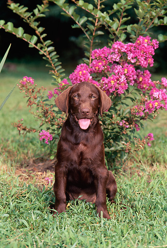PUP 05 CE0084 01 © Kimball Stock Chocolate Labrador Retriever Puppy Sitting On Grass By Pink Flowers
