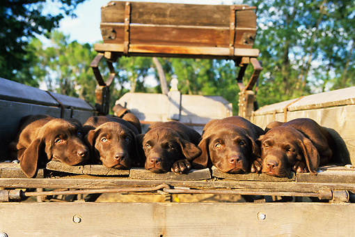 PUP 05 DB0003 01 © Kimball Stock Five Chocolate Labrador Retriever Puppies Laying In Wagon