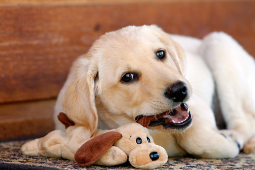 PUP 05 DB0025 01 © Kimball Stock Portrait Of Yellow Labrador Retriever Puppy Playing With Stuffed Toy On Rug