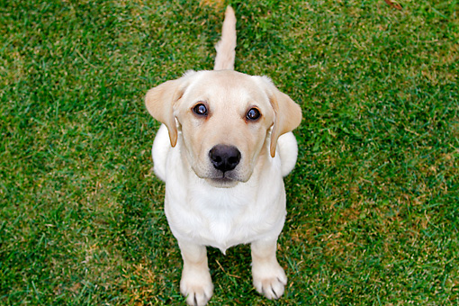 PUP 05 DB0026 01 © Kimball Stock Yellow Labrador Retriever Puppy Sitting On Grass Looking Up
