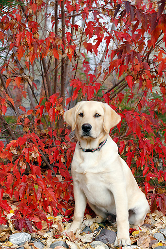 PUP 05 DB0027 01 © Kimball Stock Yellow Labrador Retriever Puppy Sitting On Rocks By Autumn Leaves