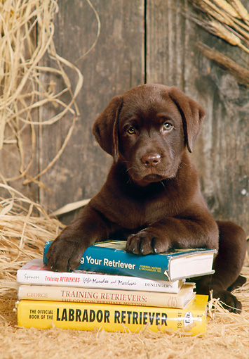 PUP 05 DC0002 01 © Kimball Stock Portrait Of Chocolate Labrador Retriever Puppy Laying On Books On Hay In Barn