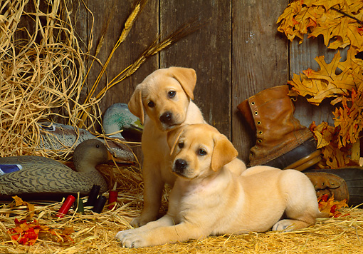 PUP 05 DC0006 01 © Kimball Stock Portrait Of Two Yellow Labrador Retriever Puppies On Hay In Barn