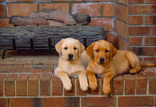 PUP 05 DC0008 01 © Kimball Stock Two Yellow Labrador Retriever Puppies Laying By Fireplace