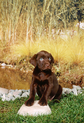 PUP 05 FA0032 01 © Kimball Stock Labrador Retriever Puppy Sitting In Grass By Pond