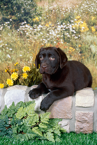 PUP 05 FA0033 01 © Kimball Stock Chocolate Labrador Retriever Puppy Laying On Brick Wall By Wildflowers