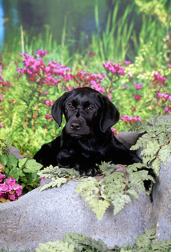 PUP 05 FA0034 01 © Kimball Stock Black Labrador Retriever Puppy Laying On Boulder By Tall Grass And Pink Flowers