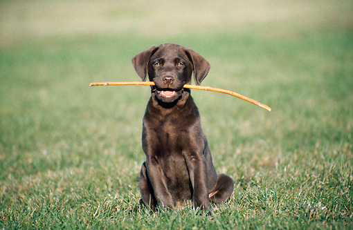 PUP 05 GR0024 03 © Kimball Stock Chocolate Labrador Retriever Puppy Sitting On Grass With Stick In Mouth