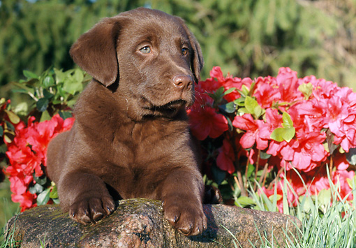 PUP 05 GR0170 01 © Kimball Stock Chocolate Labrador Retriever Puppy Sitting In Grass By Red Flowers