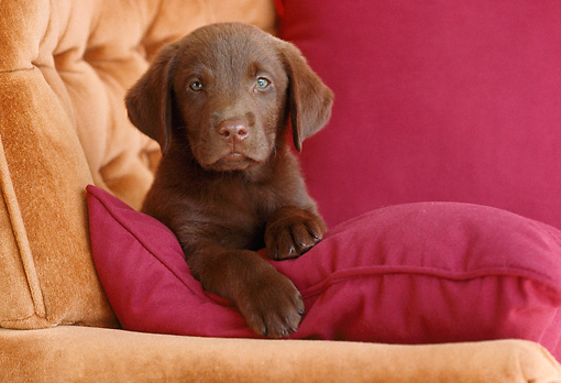 PUP 05 GR0178 01 © Kimball Stock Chocolate Labrador Retriever Puppy Laying On Red Pillow In Armchair