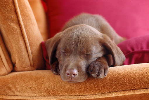 PUP 05 GR0179 01 © Kimball Stock Close-Up Of Chocolate Labrador Retriever Puppy Sleeping On Red Pillow In Armchair