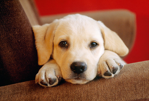 PUP 05 GR0180 01 © Kimball Stock Head Shot Of Yellow Labrador Retriever Puppy Laying On Armchair