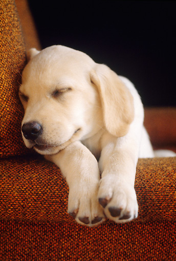PUP 05 GR0181 01 © Kimball Stock Head Shot Of Yellow Labrador Retriever Puppy Sleeping On Armchair