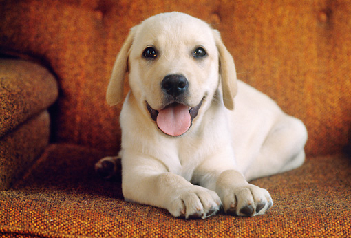 PUP 05 GR0182 01 © Kimball Stock Yellow Labrador Retriever Puppy Laying On Armchair