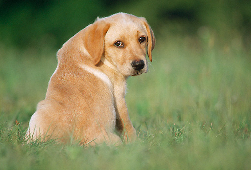 PUP 05 GR0188 01 © Kimball Stock Yellow Labrador Retriever Puppy Sitting On Grass Looking Back