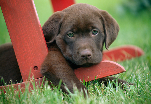 PUP 05 GR0206 01 © Kimball Stock Chocolate Labrador Retriever Puppy Laying On Leg Of Chair