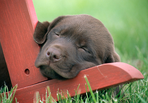 PUP 05 GR0207 01 © Kimball Stock Chocolate Labrador Retriever Puppy Sleeping On Leg Of Chair