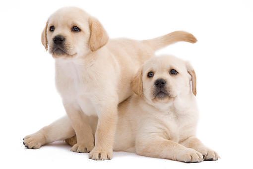 PUP 05 JE0007 01 © Kimball Stock Yellow Labrador Retriever Puppy Standing Over Second Puppy On White Seamless