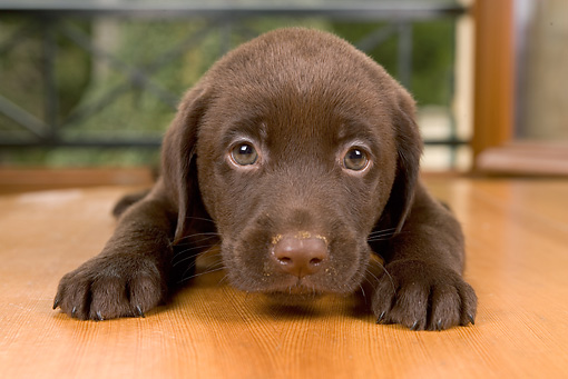 PUP 05 JE0011 01 © Kimball Stock Close-Up Of Chocolate Labrador Retriever Puppy Laying On Harwood Floor