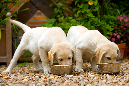 royal canin golden retriever junior feeding guide