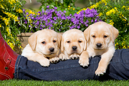 PUP 05 JE0017 01 © Kimball Stock Three Yellow Labrador Retriever Puppies Resting On Owner's Leg In Garden