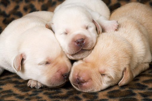 PUP 05 JE0020 01 © Kimball Stock Three Yellow Labrador Retriever Puppies Sleeping On Blanket