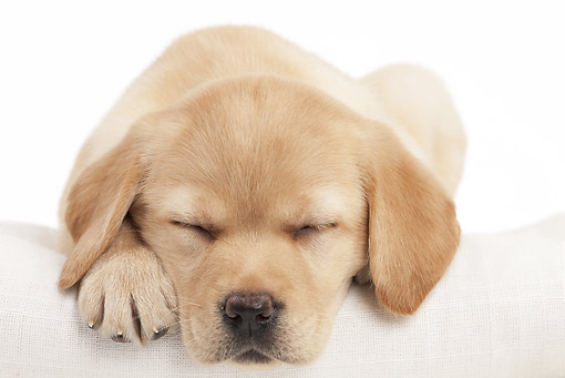 PUP 05 JE0025 01 © Kimball Stock Yellow Labrador Retriever Puppy Sleeping On White Seamless