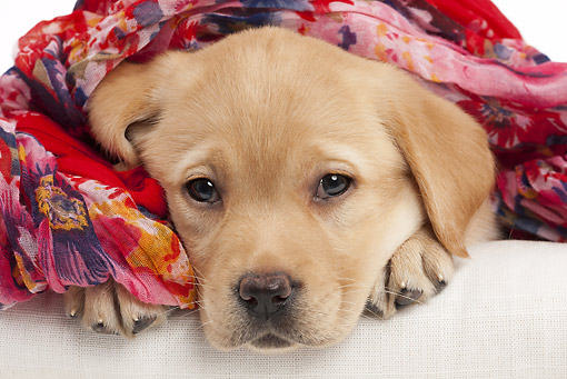 PUP 05 JE0026 01 © Kimball Stock Yellow Labrador Retriever Puppy Wrapped In Scarf On White Seamless