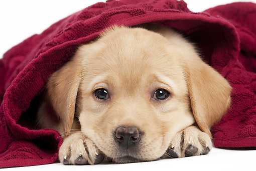 PUP 05 JE0027 01 © Kimball Stock Yellow Labrador Retriever Puppy Wrapped In Red Towel On White Seamless