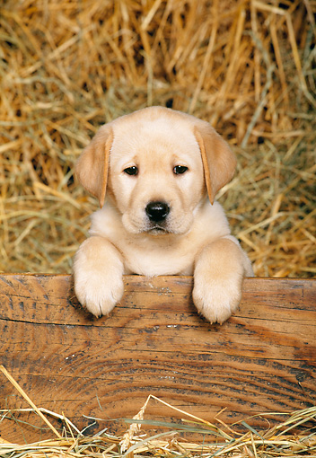 PUP 05 KH0004 01 © Kimball Stock Yellow Labrador Retriever Puppy Leaning Over Wooden Panel