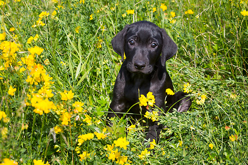 PUP 05 LS0020 01 © Kimball Stock Black Labrador Retriever Puppy Calmly Smiling