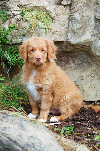 PUP 05 NR0025 01 © Kimball Stock Nova Scotia Duck Tolling Retriever Puppy Sitting By Log And Rock