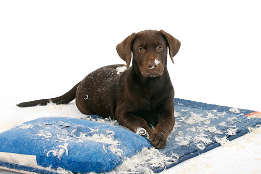 PUP 05 PE0001 01 © Kimball Stock Chocolate Labrador Retriever Puppy Laying On Destroyed Pillow On White Seamless