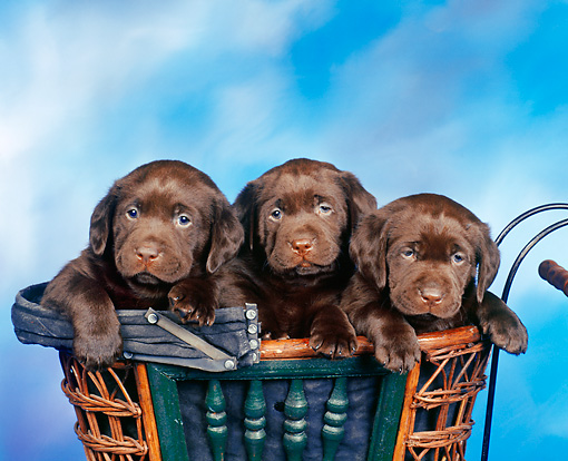 PUP 05 RK0001 04 © Kimball Stock 3 Chocolate Labs Sitting In A Basket Facing Camera With  Blue Background