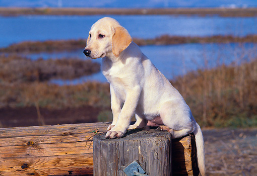 PUP 05 RK0023 01 © Kimball Stock Profile Shot Of Yellow Labrador Puppy Sitting On Stump By Marsh