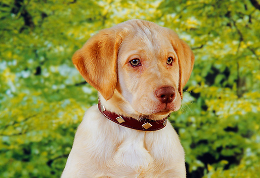 PUP 05 RK0073 01 © Kimball Stock Head Shot Of Yellow Labrador Retriever Puppy Trees Background