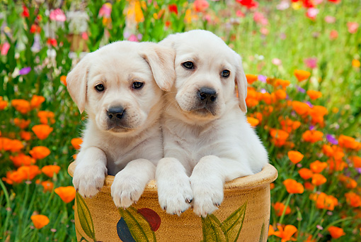 PUP 05 RK0106 01 © Kimball Stock Yellow Labrador Retriever Puppies Sitting In Flower Pot In Garden