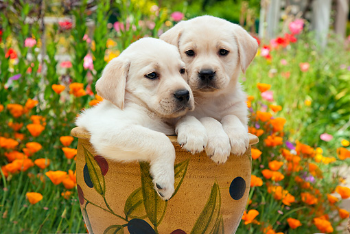 PUP 05 RK0107 01 © Kimball Stock Yellow Labrador Retriever Puppies Sitting In Flower Pot In Garden