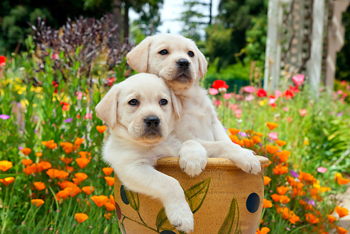PUP 05 RK0108 01 © Kimball Stock Yellow Labrador Retriever Puppies Sitting In Flower Pot In Garden