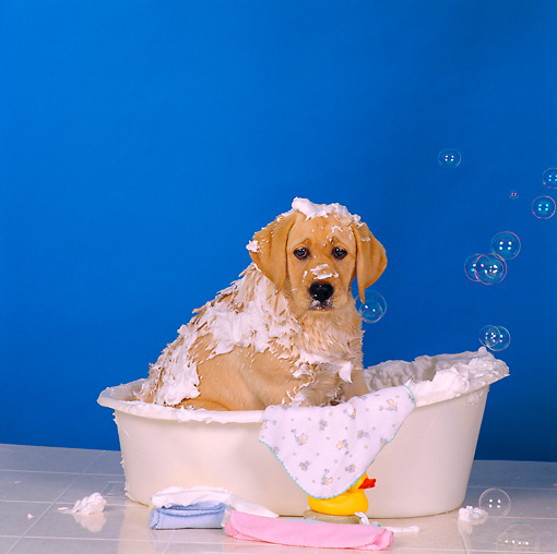 PUP 05 RS0012 05 © Kimball Stock Yellow Labrador Retriever Puppy Taking A Bath Blue Background