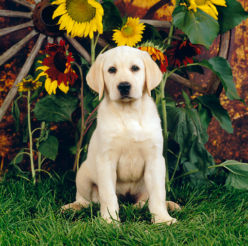 PUP 05 RS0020 01 © Kimball Stock Yellow Labrador Retriever Puppy Sitting On Grass By Sunflowers Wagon Wheel