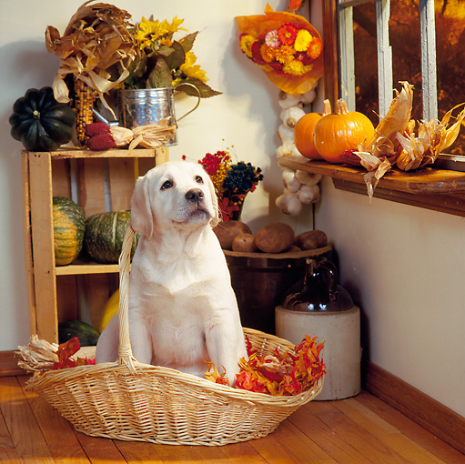 PUP 05 RS0028 01 © Kimball Stock Yellow Labrador Retriever Puppy Sitting In Basket Of Fall Leaves