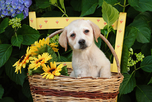 PUP 05 SJ0002 01 © Kimball Stock Yellow Labrador Retriever Puppy Sitting In Wicker Basket With Sunflowers