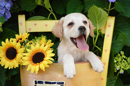 PUP 05 SJ0003 01 © Kimball Stock Yellow Labrador Retriever Puppy Sitting In Flower Pot With Sunflowers
