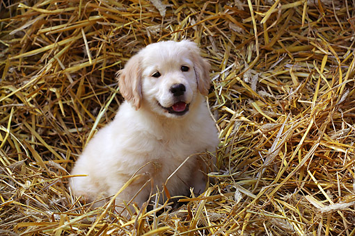 PUP 05 SJ0004 01 © Kimball Stock Yellow Labrador Retriever Puppy Sitting In Hay