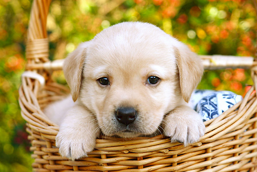 PUP 05 SJ0007 01 © Kimball Stock Yellow Labrador Retriever Puppy Sitting In Wicker Basket In Garden
